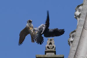 Green ring juvenile attacking Chichester peregrine