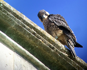 Male 48 fledged