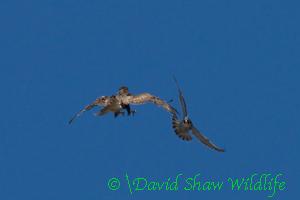 Attacking buzzard