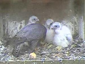 Dad feeding chicks