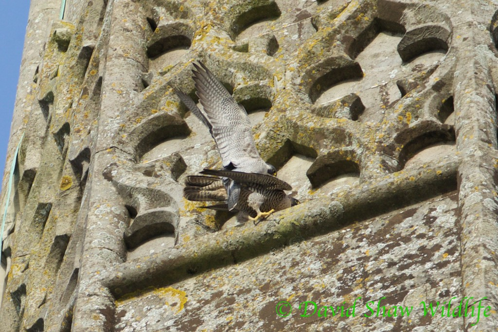Peregrines mating on the Cathedral Spire