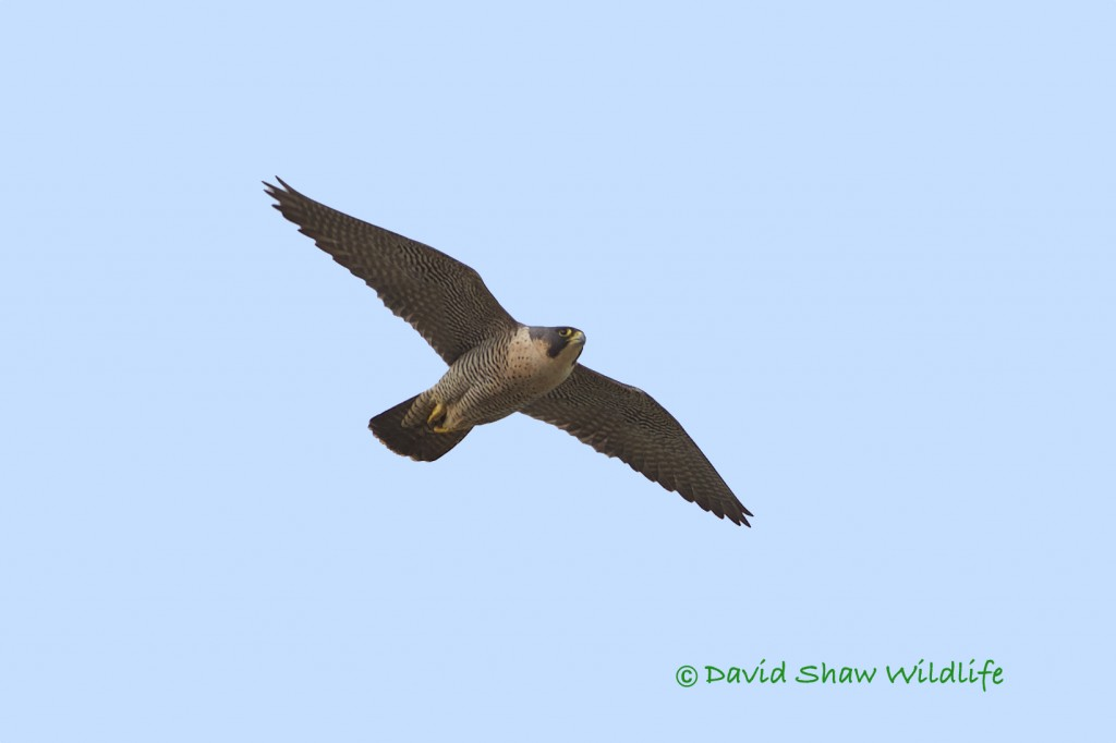 Peregrine flying