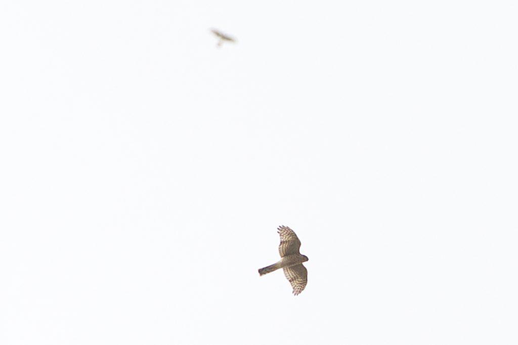 2 Sparrowhawks