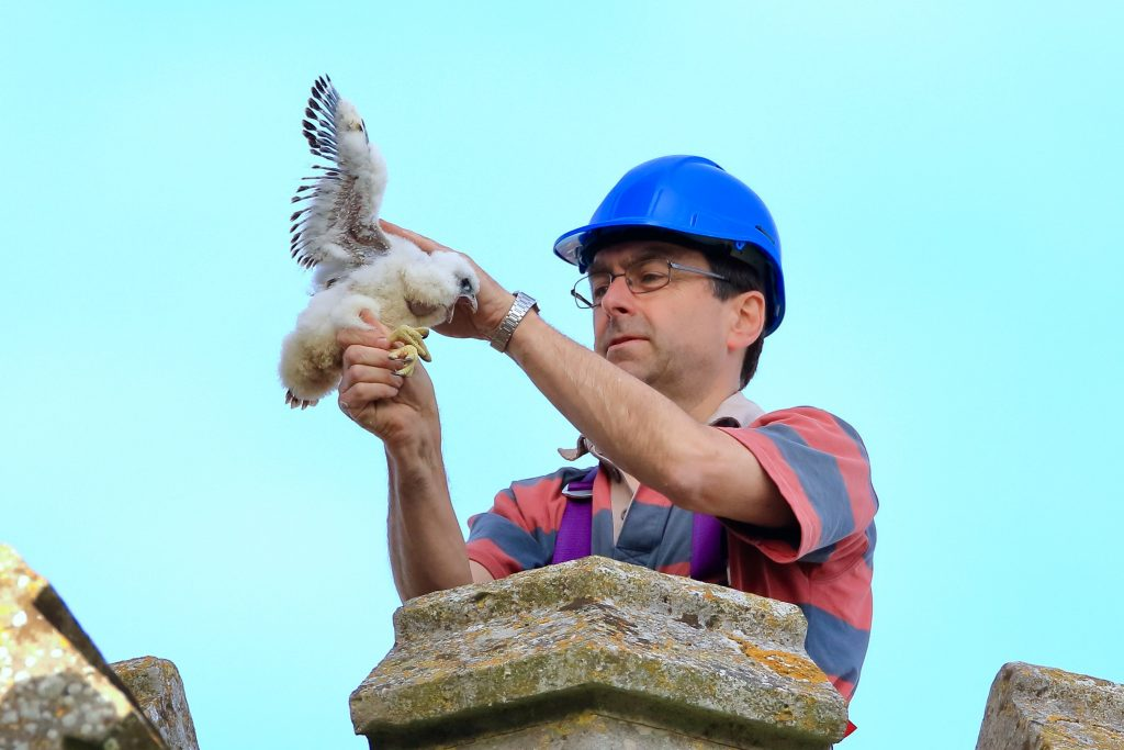 Ringing the chicks