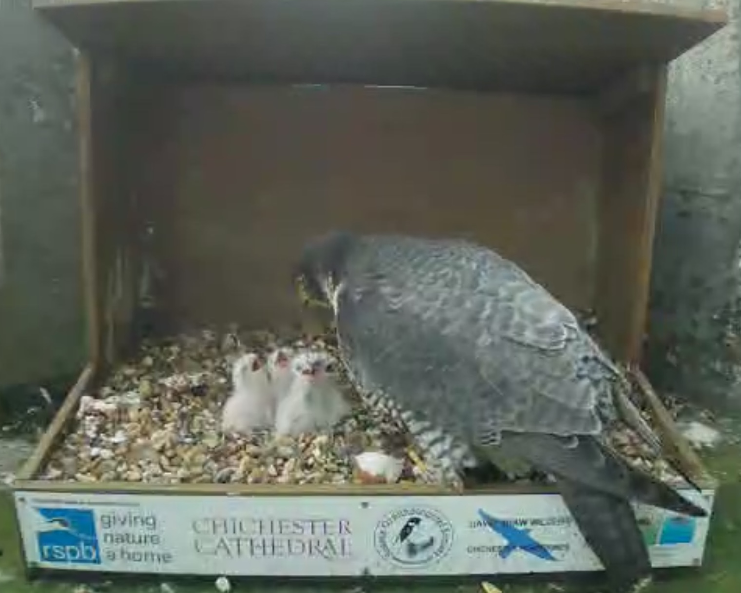 4 chicks being fed by Mum