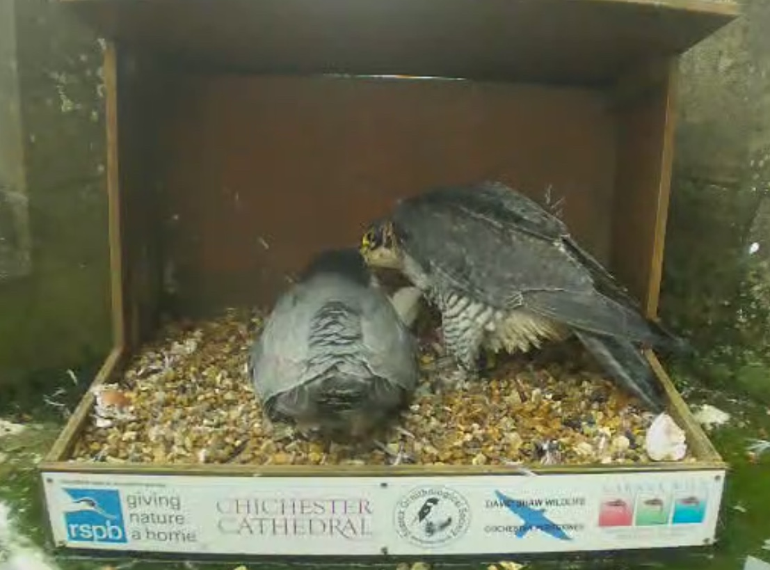 Mum feeds while Dad protects