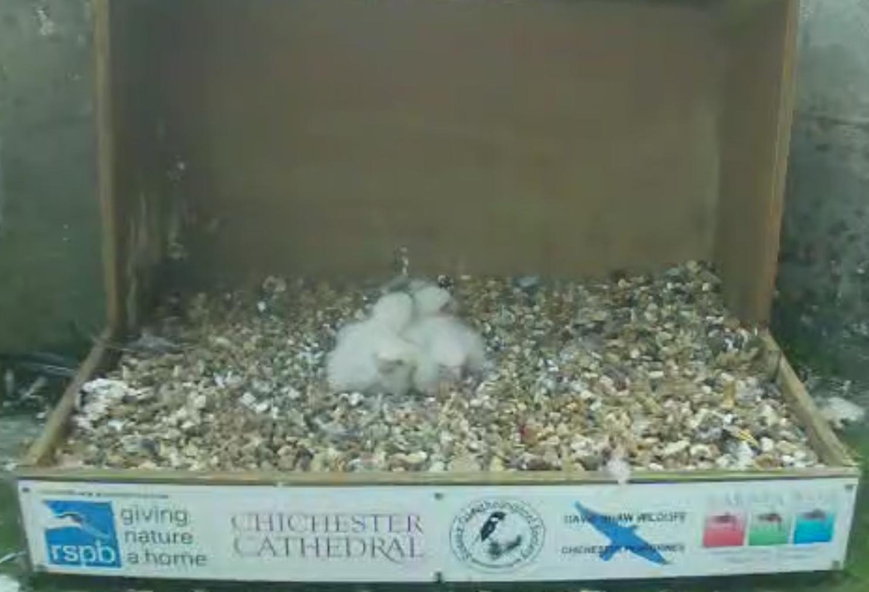 4 chicks