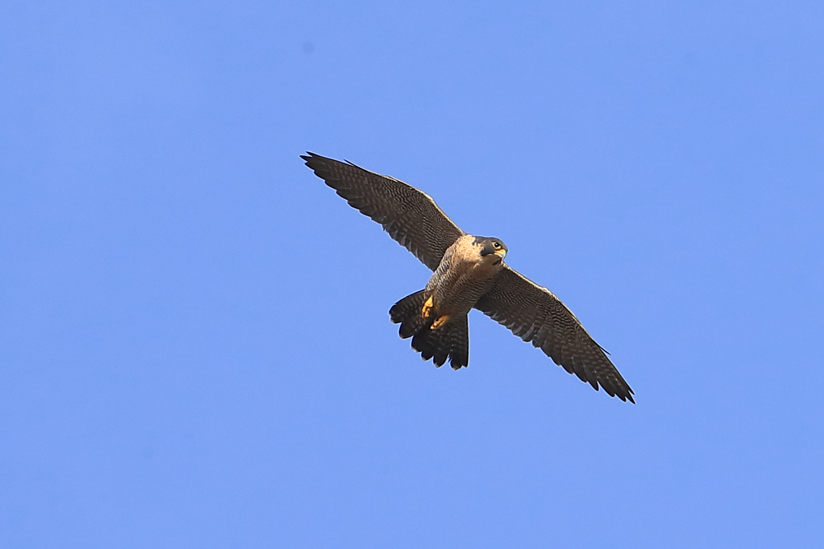 NEW FEMALE PEREGRINE