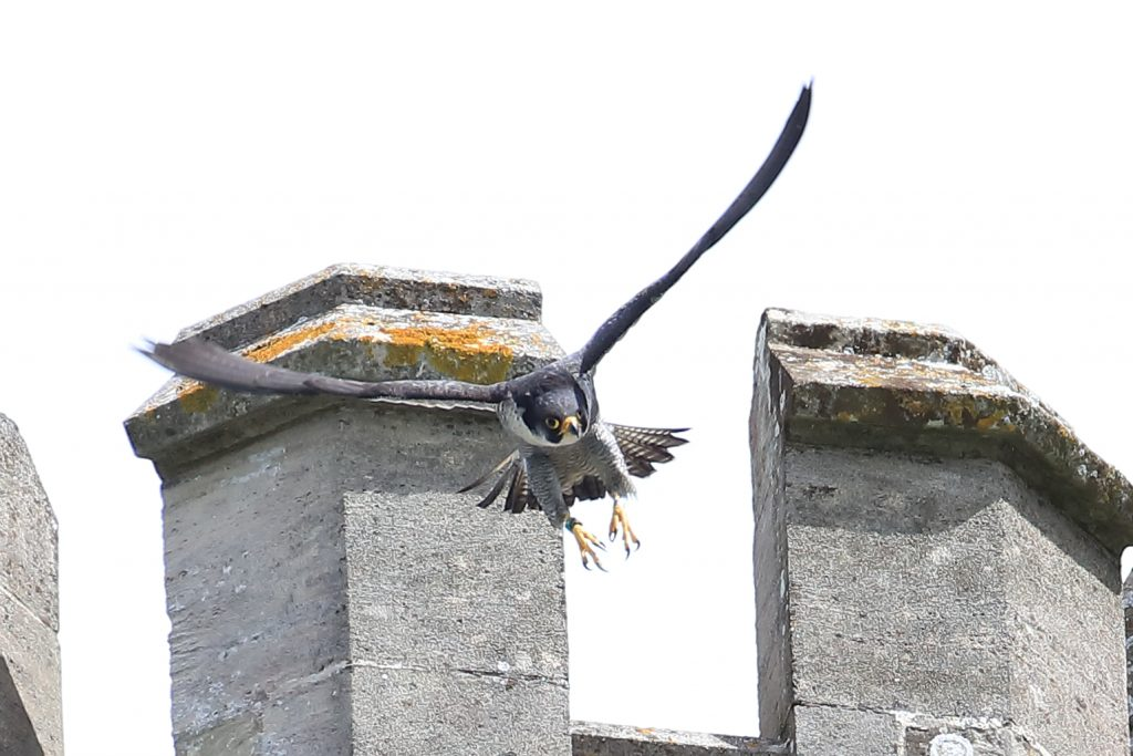 Chichester Peregrines Open Days