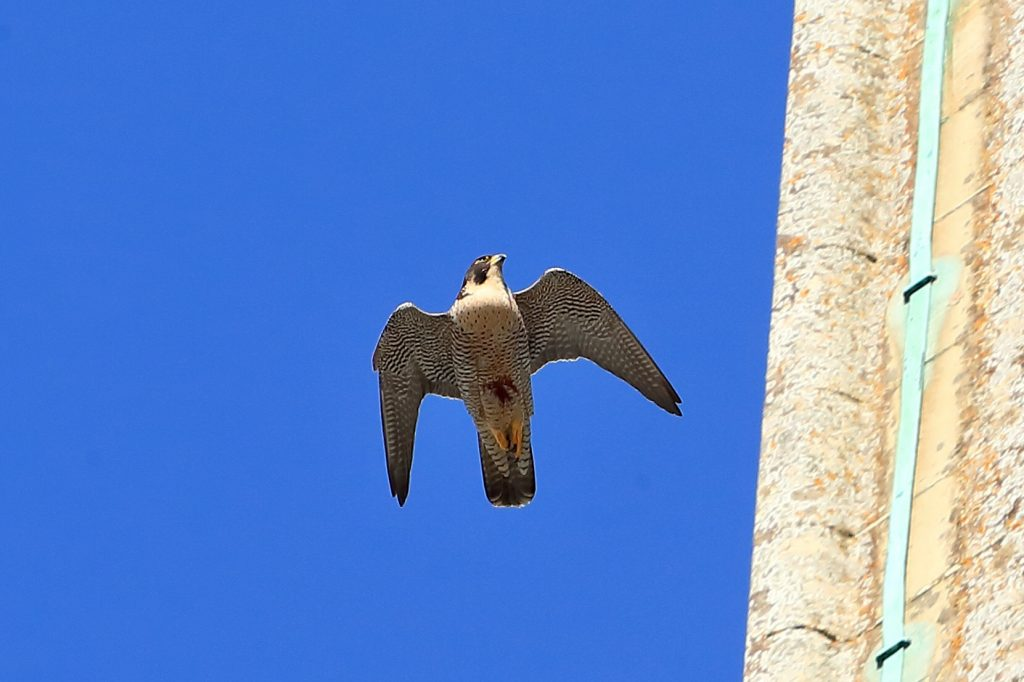 Chichester Peregrines first open day