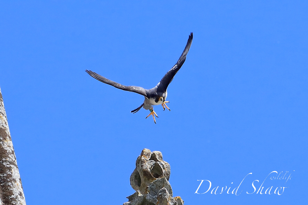 Open day Chichester Peregrines