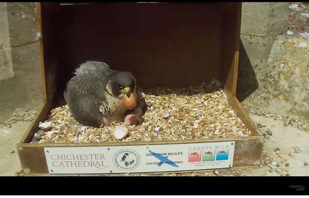 Chichester Peregrines full clutch!