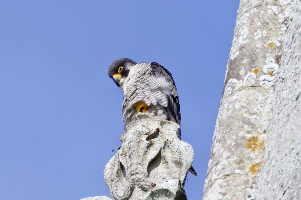 Chichester Peregrines Proud Dad