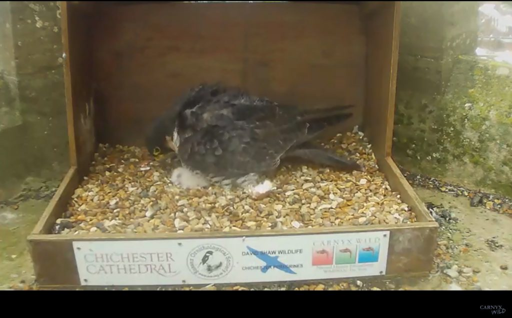 Chichester Peregrines first chick