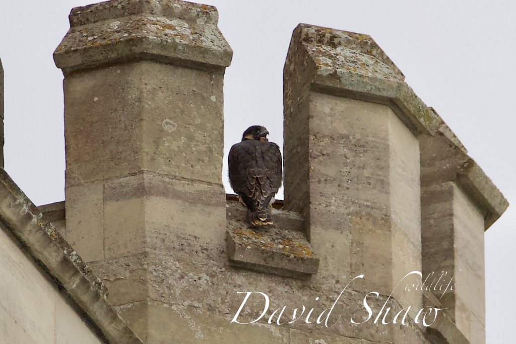 Chichester Cathedral Peregrines