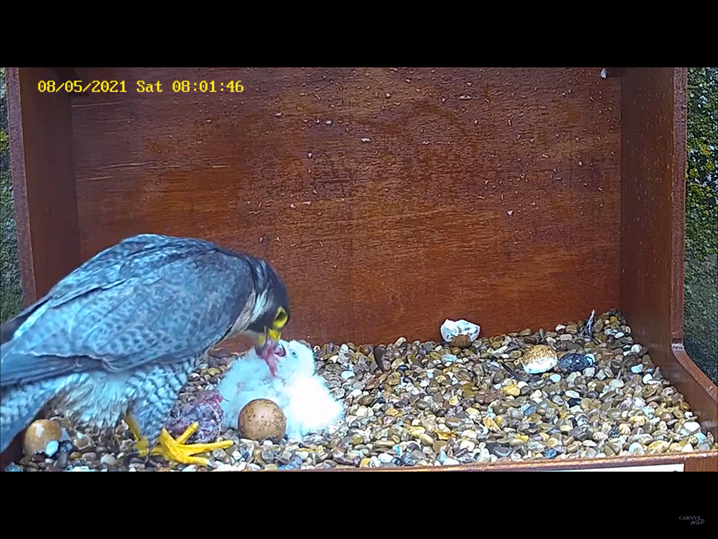 Chichester Peregrines