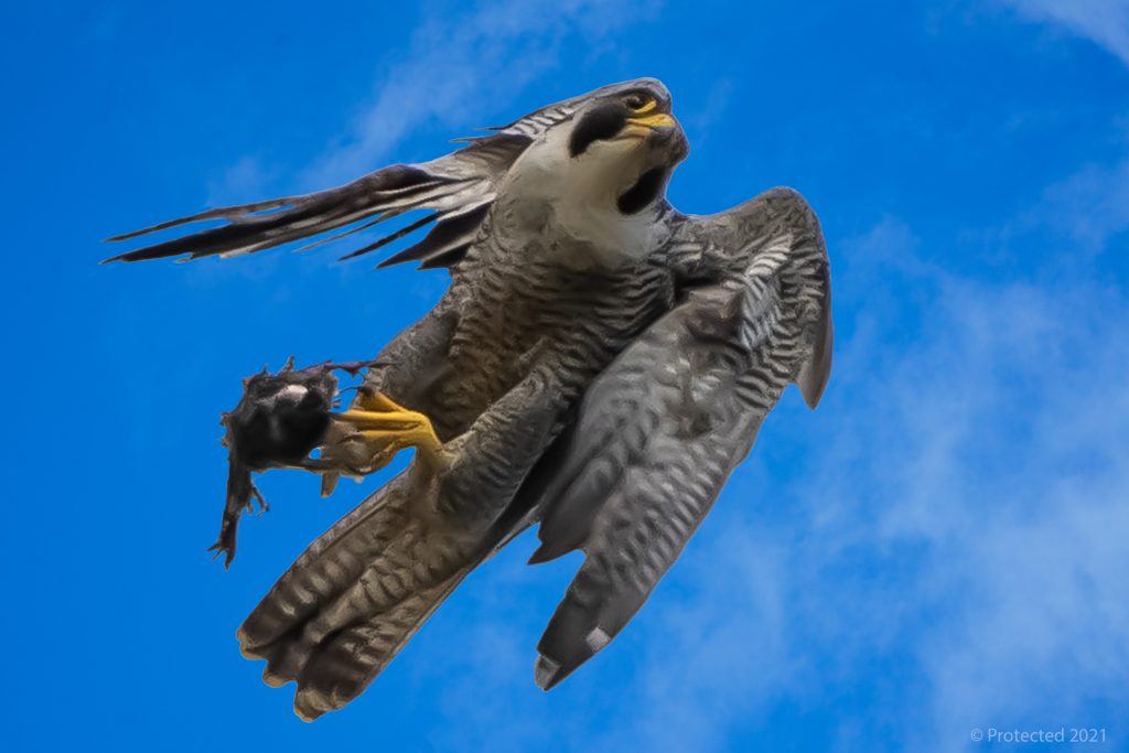 Photo by Ian Page Chichester Peregrines